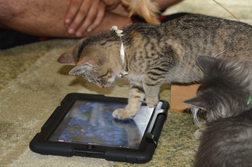 My daughters kitten Roo chasing fish on a iPad Photo by Mike Hartley