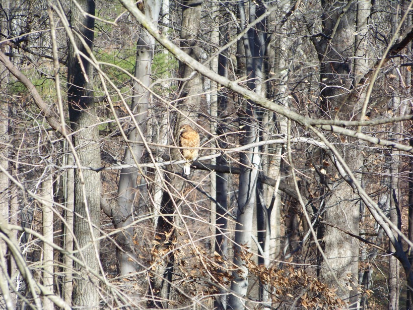 This guy loves my back yard.  Photo by Mike Hartley