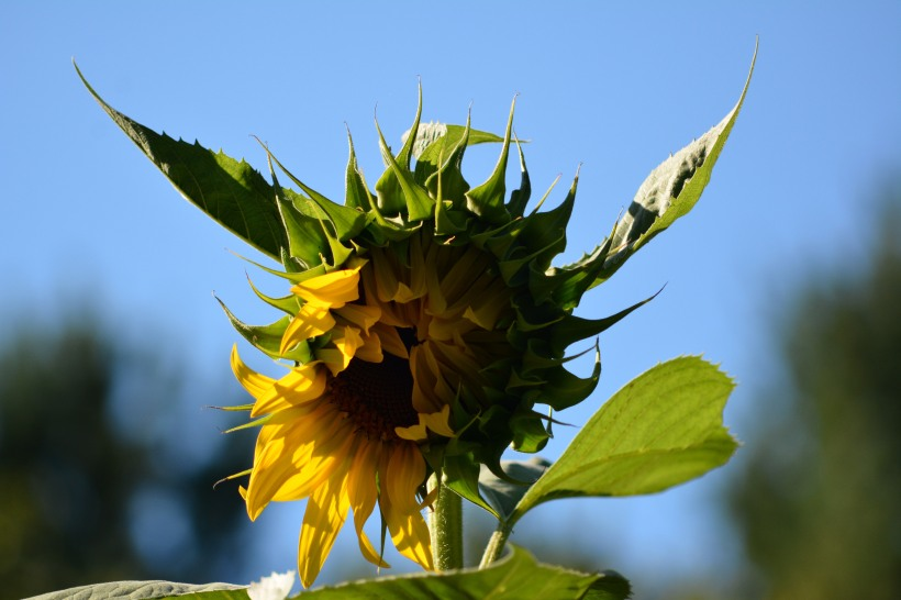 Sunflower just starting to open. Photo by Mike Hartley