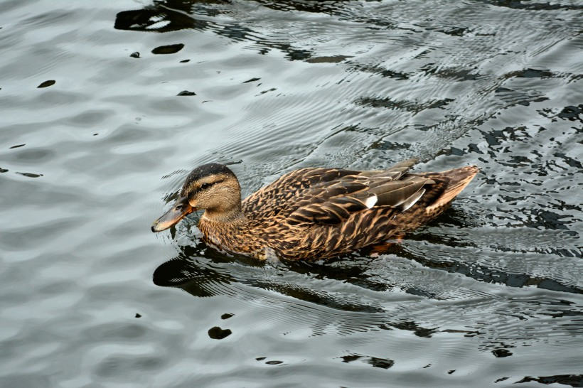 Slow it down, it's a no wake zone there my feathered friend. Photo by Mike Hartley