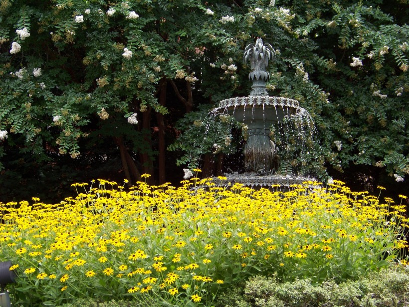 Black Eyed Susan's and fountain in Annapolis.  Photo by Mike Hartley
