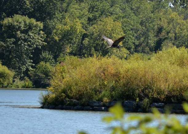 I believe this is a Blue Heron cruising over Lake Kittamaqundi