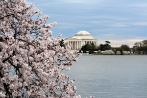 Cherry blossoms and Jefferson Memorial.. Photo by Mike Hartley