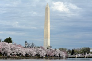 Washington Monument in the background of the blossoms. Photo by Mike Hartley