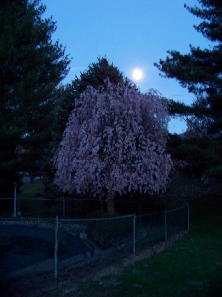 The moon over my wheeping cherry tree. Photo by Mike Hartley