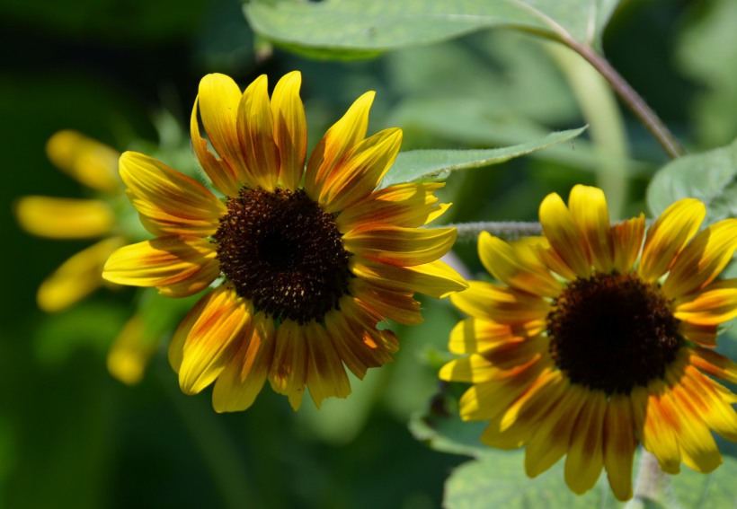 My neighbors Sunflowers Photo by Mike Hartley