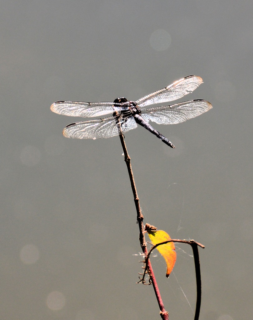 Dragonfly or bi wing plane? Photo by Mike Hartley