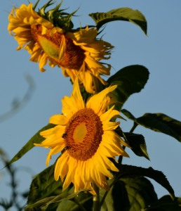 Sunflowers Photo by Mike Hartley
